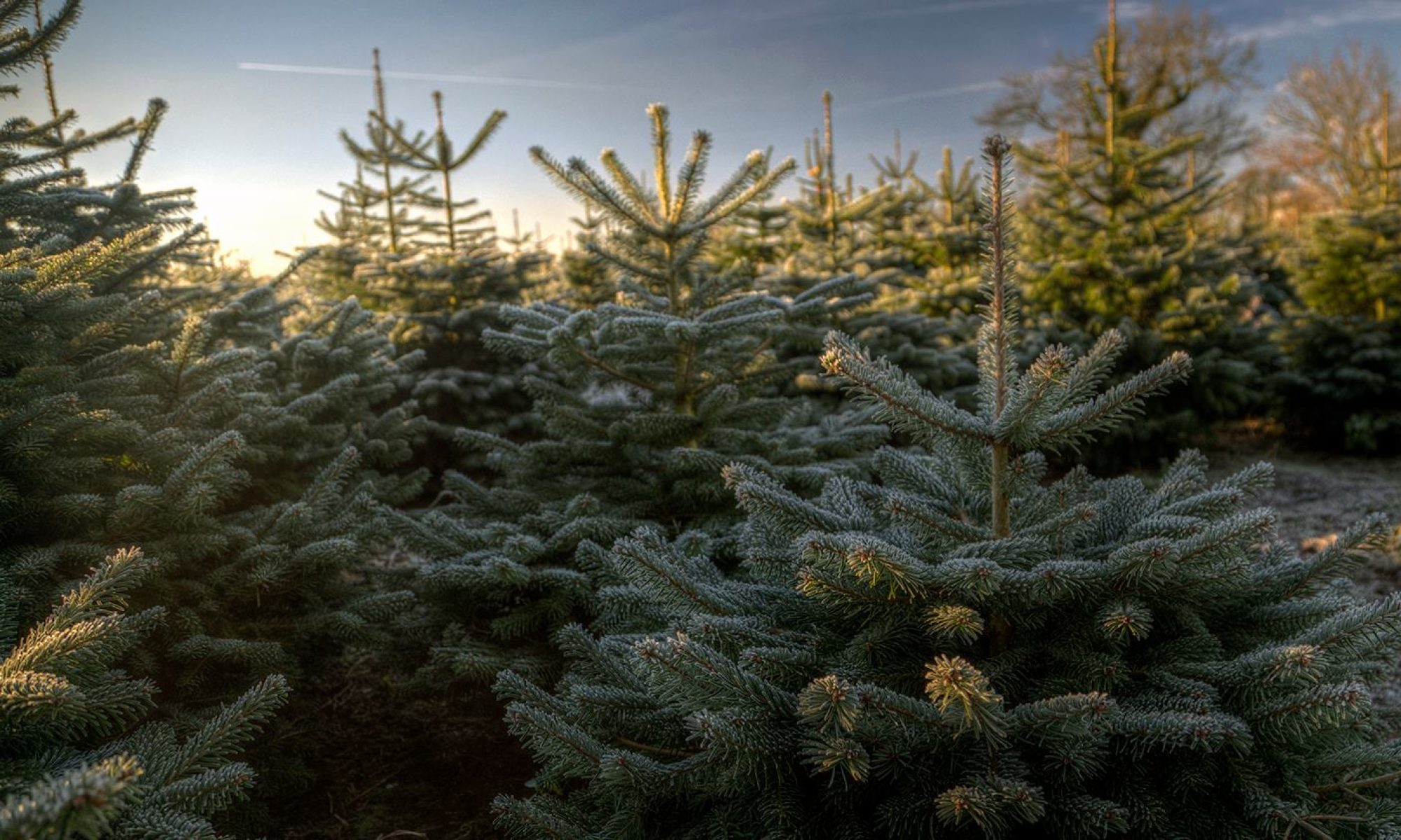 Newsholme Christmas Trees